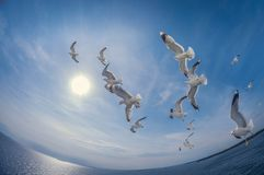 Flock of seagulls flying over the sea with a background of blue sky, fisheye distortion stock image