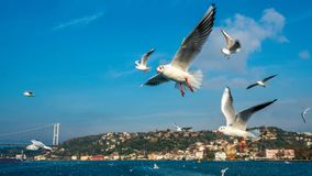 A Flock of Seagulls Flying Over The Sea royalty free stock photos