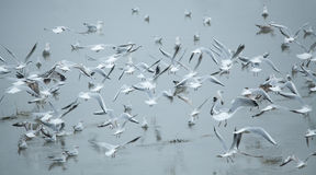 Flock of seagulls Stock Image