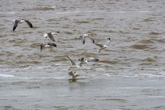 Seagulls flying over some water. Flock of Seagulls flying over some water stock photo