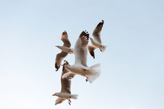 Flock of seagulls flying with sky background Royalty Free Stock Photos