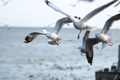 Flock of seagulls flying in the sky. Selective focus and shallow depth of field. Flock of seagulls flying in the sky. Selective focus and shallow depth of field Royalty Free Stock Image