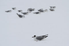Flock of seagulls on frozen lake Stock Photos