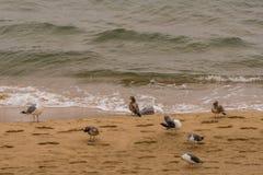 Seagulls gathered on sandy beach Royalty Free Stock Photo