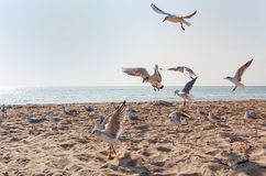 Flock of seagulls hovering in the confusion over the beach Royalty Free Stock Photos