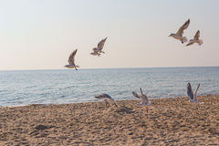 Flock of seagulls hovering in the confusion over the beach Stock Photos