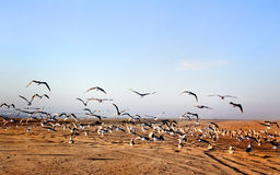 Flock of Seagulls. A large flock of active seagulls at the beach, some standing, and some fluttering in flight under blue clear skies! Copy space stock photo