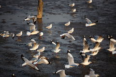 Flock of Seagulls. Royalty Free Stock Photography