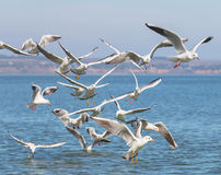 Flock of seagulls Larus michahellis are flying over the sea Stock Photography
