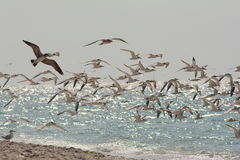 Flock of seagulls Nokomis. Large group of seagulls fling along the coast line in Nokomis beach Florida Stock Image