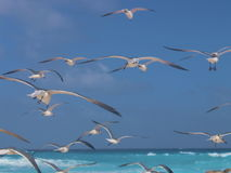 Flock of seagulls over the carribean. Shot over the mexican carribean NICE blue water Royalty Free Stock Images