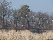 A flock of seagulls over the pond. South Bohemia, Czech Republic Stock Photos
