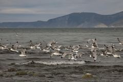 A flock of seagulls over the sea. Stock Images