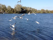Flock of seagulls over water. Royalty Free Stock Images