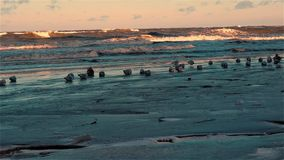 Flock of seagulls resting on icy winter in sand beach in some places covered with snow stock footage