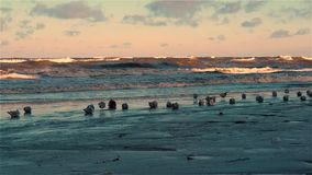 Flock of seagulls resting on icy winter in sand beach in some places covered with snow stock video
