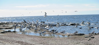 Flock of Seagulls at Salton Sea California Stock Photos