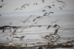 Flock of seagulls on the sea Stock Photography