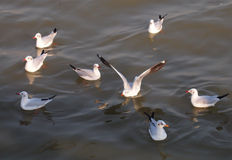 A flock of seagulls on the sea. A flock of seagulls are floating on the sea Stock Image