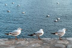 A flock of seagulls on sea. A flock of seagulls on the sea royalty free stock images