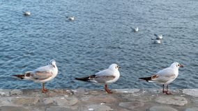A flock of seagulls on sea. A flock of seagulls on the sea stock photography
