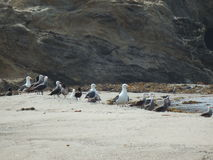 Flock of Seagulls on the Shore. Flock of seagulls look at the ocean from the safety of the shore Royalty Free Stock Image