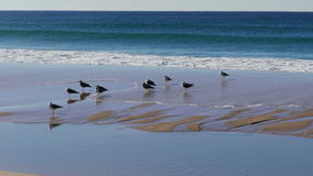 Flock of Seagulls Sitting on the Beach Ocean with Waves stock video