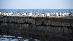 Flock of seagulls sitting on the concrete pier at the sea stock footage