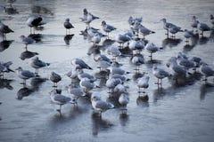 Seagulls on freezing lake royalty free stock images