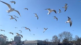 A flock of seagulls in the sky. Hovering in the wind stock video