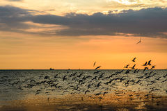 A Flock of Seagulls in Sky. At sunset Royalty Free Stock Photo
