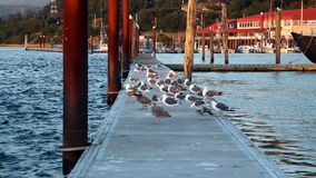 Flock Of Seagulls Standing And Sitting On Dock stock video footage