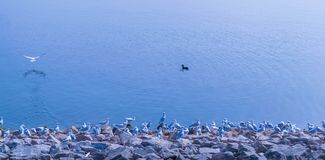 A flock of Seagulls standing still on the shore of Draycote Water Lake in United Kingdom royalty free stock photography