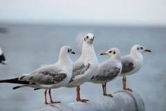 Flock of seagulls standing on stone fence. Selective focus and shallow depth of field. Flock of seagulls standing on stone fence. Selective focus and shallow Royalty Free Stock Images