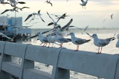 Flock of seagulls standing on stone fence. Selective focus and shallow depth of field. Flock of seagulls standing on stone fence. Selective focus and shallow Royalty Free Stock Photography