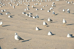 Flock of the seagulls Royalty Free Stock Image