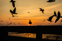 Flock of seagulls with sunset time Royalty Free Stock Images