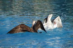 Juvenile seagulls arguing and fighting in a swimming pool royalty free stock photos
