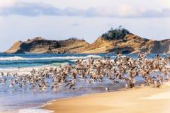 Flock of Seagulls Taking Flight on Oregon Beach royalty free stock photography