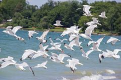 Flock of seagulls taking off Stock Photos