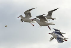Flock of seagulls trying to catch food in flight. Against light sky background royalty free stock image