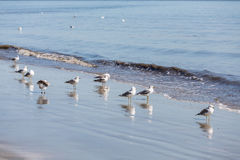 Flock of Seagulls Wading in Surf Royalty Free Stock Photo