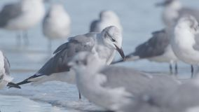 Flock Of Seagulls. Walk along the beach in daytime. United States, Florida, Daytona Beach. Slow motion shot stock video