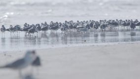 Flock Of Seagulls. Walk along the beach in daytime. United States, Florida, Daytona Beach. Slow motion shot stock footage