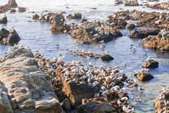 A flock of seaguls on a rocky coast Stock Photo
