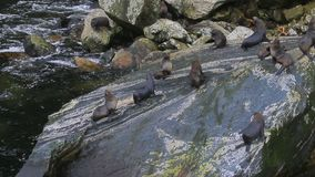 Flock of seal in milford sound fiordland national park most popular traveling destination in new zealand stock video footage