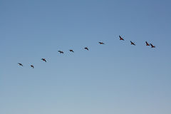A flock of seasonally migrating geese in formation Royalty Free Stock Image