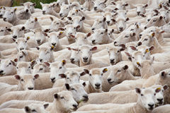 Flock of sheared sheep. With central sheep looking at camera Royalty Free Stock Photos