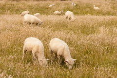 Flock of sheared sheep grazing Stock Images