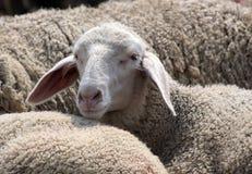 Flock of Sheep Royalty Free Stock Image